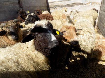 В Яшкинском районе многодетным семьям раздали овец и кур-несушек