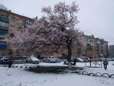 В Новокузнецке зацвела единственная в Кузбассе 50-летняя сакура