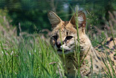 Домашние кошки выкормили детёнышей сервала и каракала в Новосибирском зоопарке