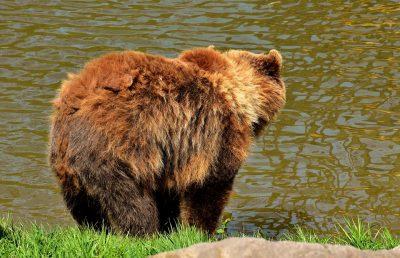 В Кузбассе застрелили медведя, который напал на скот и разрушил надворную постройку