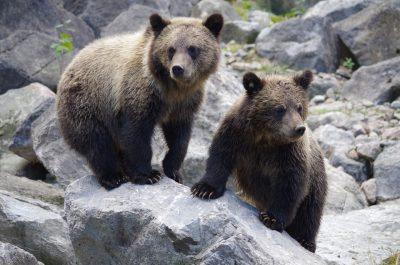 Видео: по трассе рядом с кузбасским городом бегал медведь